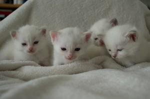 Svea och Rois kattungar